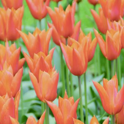 tulipa-ballerina