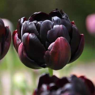 tulipa-black-hero