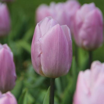 tulipa-candy-prince