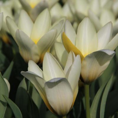 tulipa-concerto