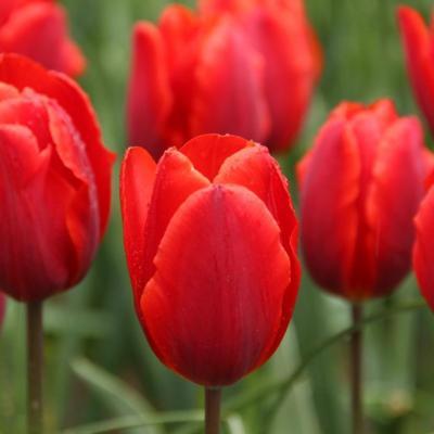tulipa-couleur-cardinal