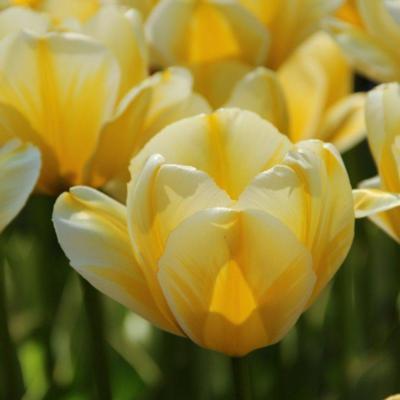 tulipa-cream-cocktail