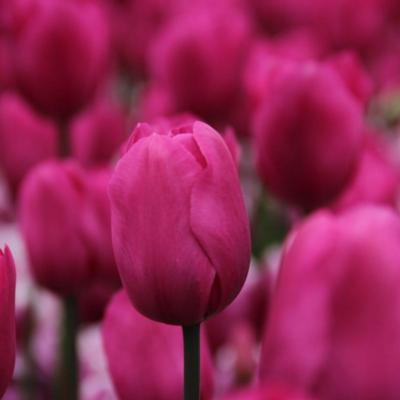tulipa-don-quichotte