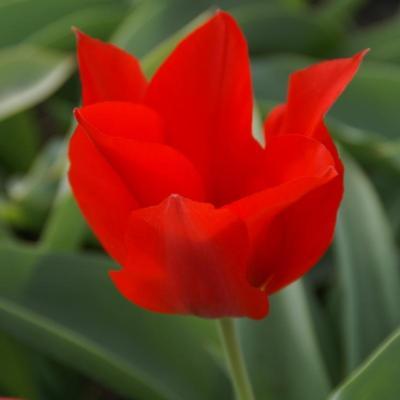 tulipa-eichleri