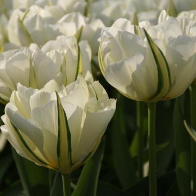 tulipa-exotic-emperor