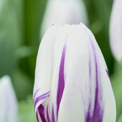 tulipa-flaming-flag