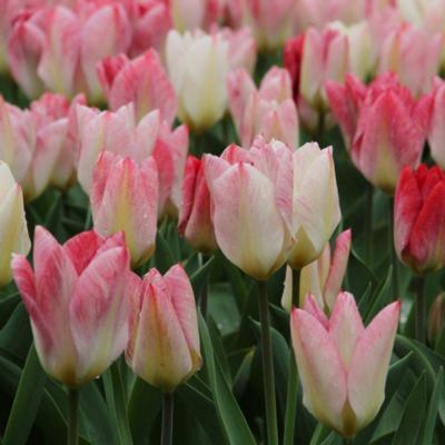 tulipa-flaming-purissima