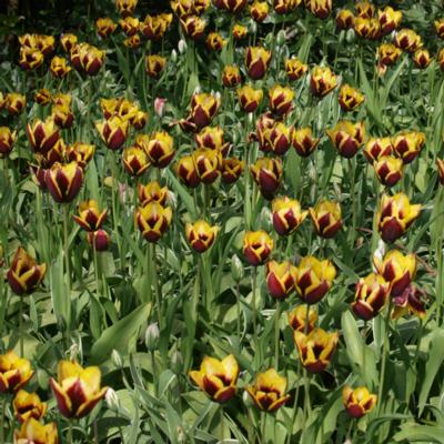 tulipa-gavota