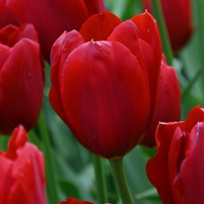 tulipa-kingsblood