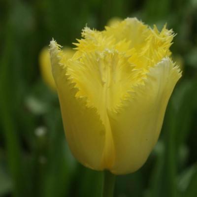 tulipa-maja