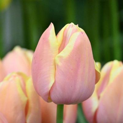 tulipa-mango-charm