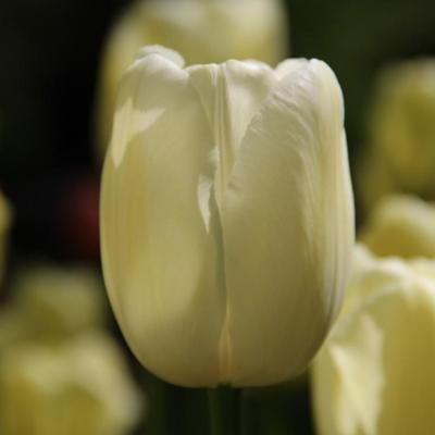 tulipa-maureen