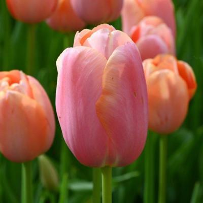 tulipa-menton