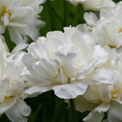 tulipa-mount-tacoma