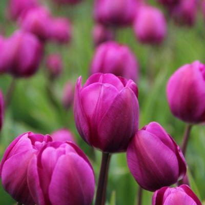 tulipa-negrita