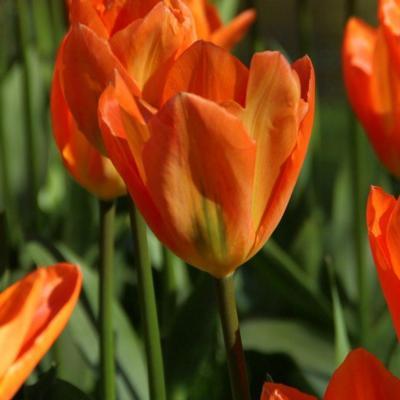 tulipa-orange-emperor