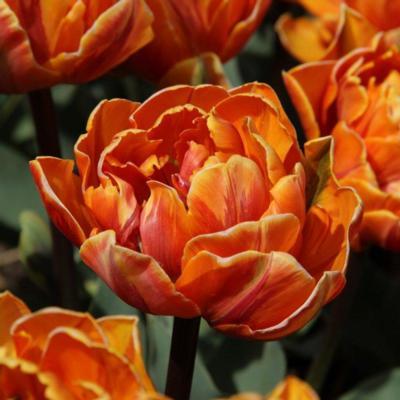 tulipa-orange-princess