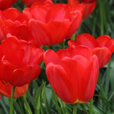 tulipa-parade