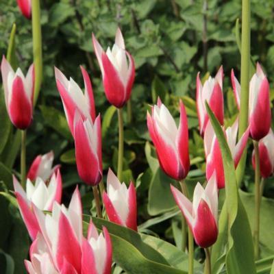 tulipa-peppermintstick