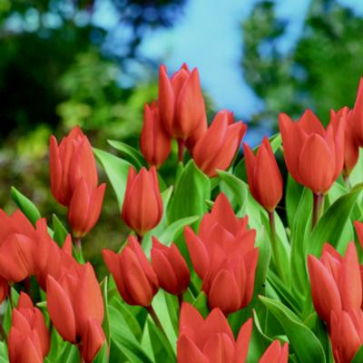 tulipa-praestans-fusilier