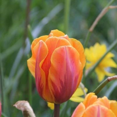 tulipa-prinses-irene