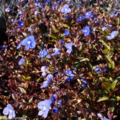 veronica-umbrosa-georgia-blue