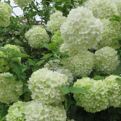 viburnum-macrocephalum-happy-fortuna
