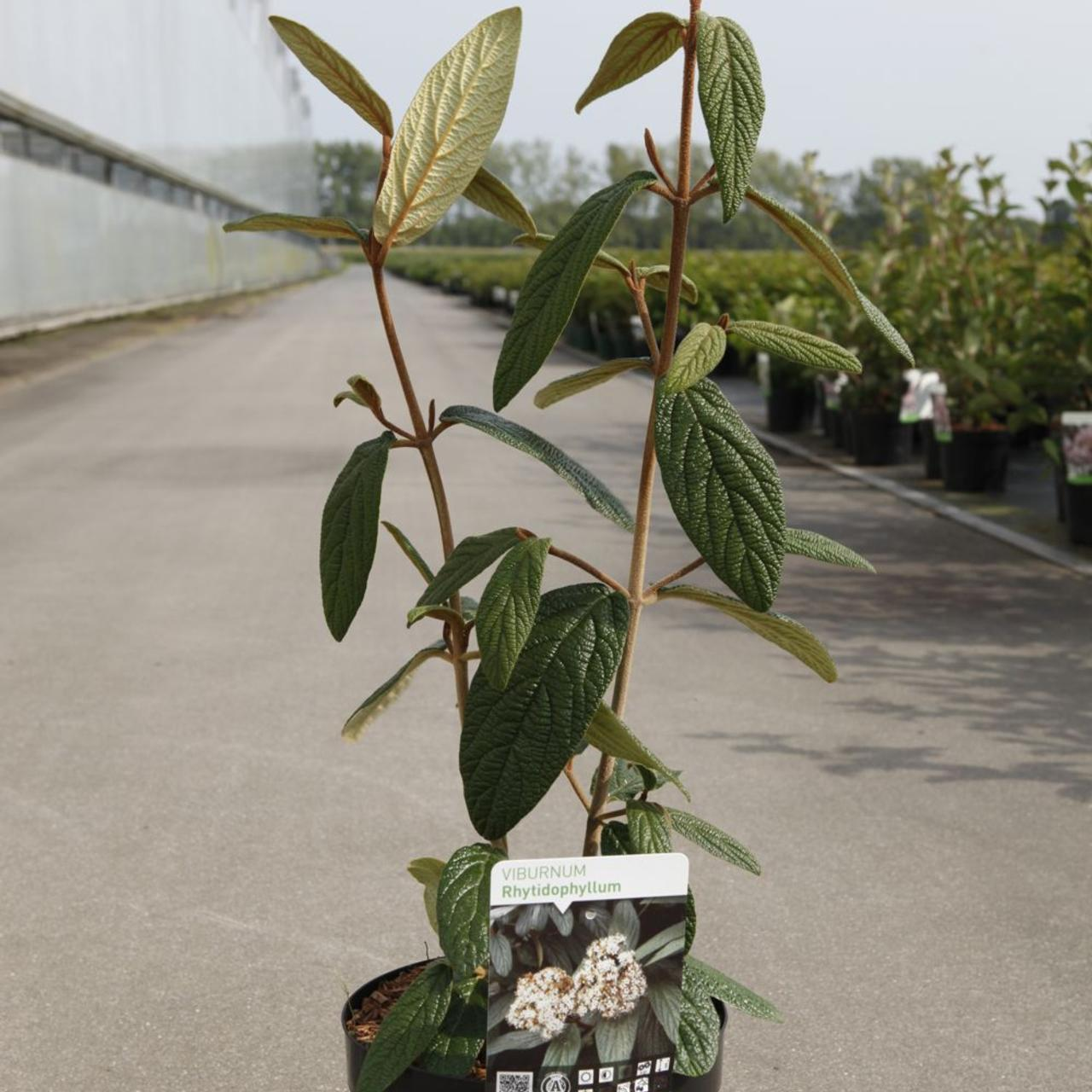Viburnum rhytidophyllum plant