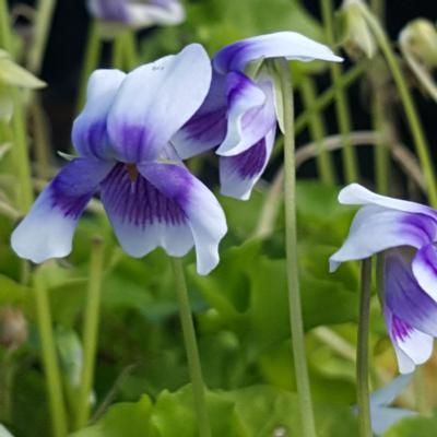viola-hederaceae