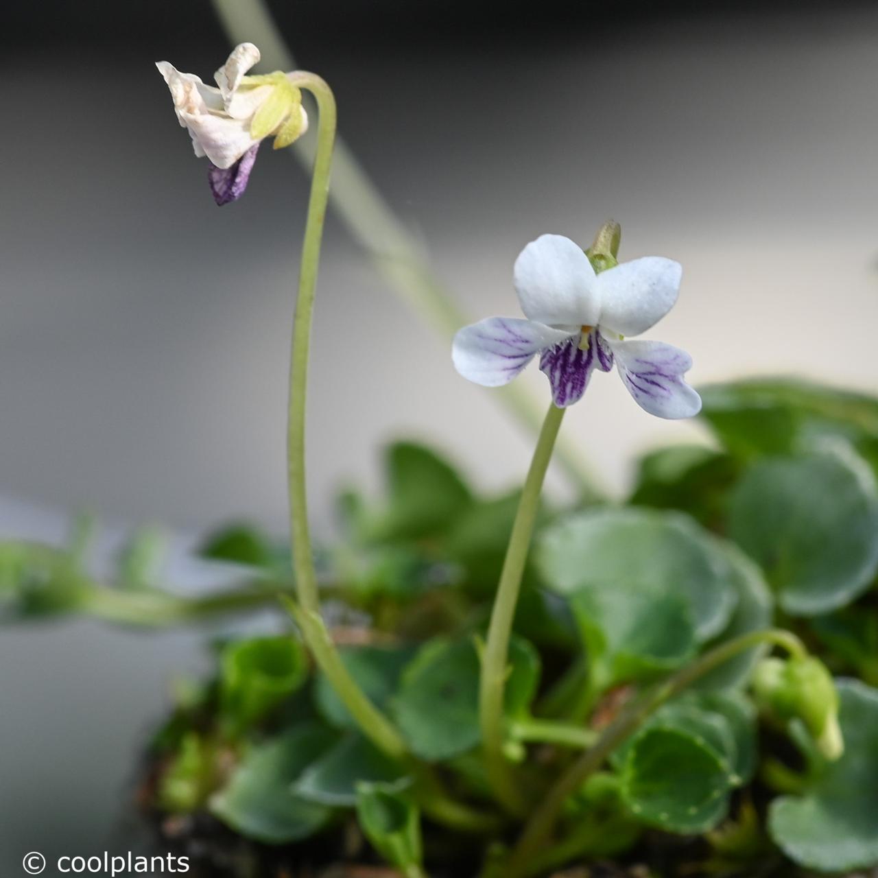 Viola verecunda var. yakusimana plant
