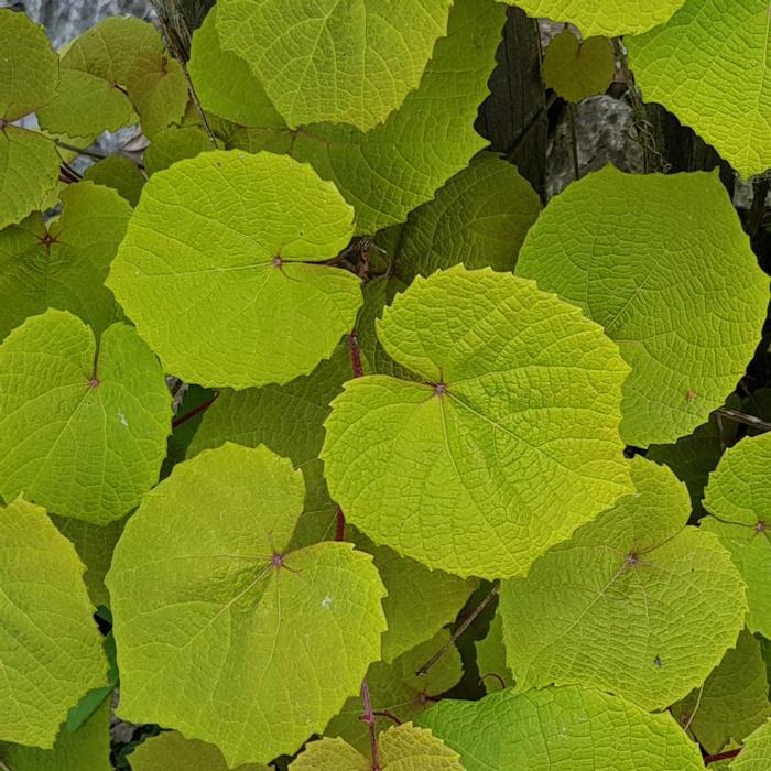 Vitis coignetiae 'Claret Cloak' plant