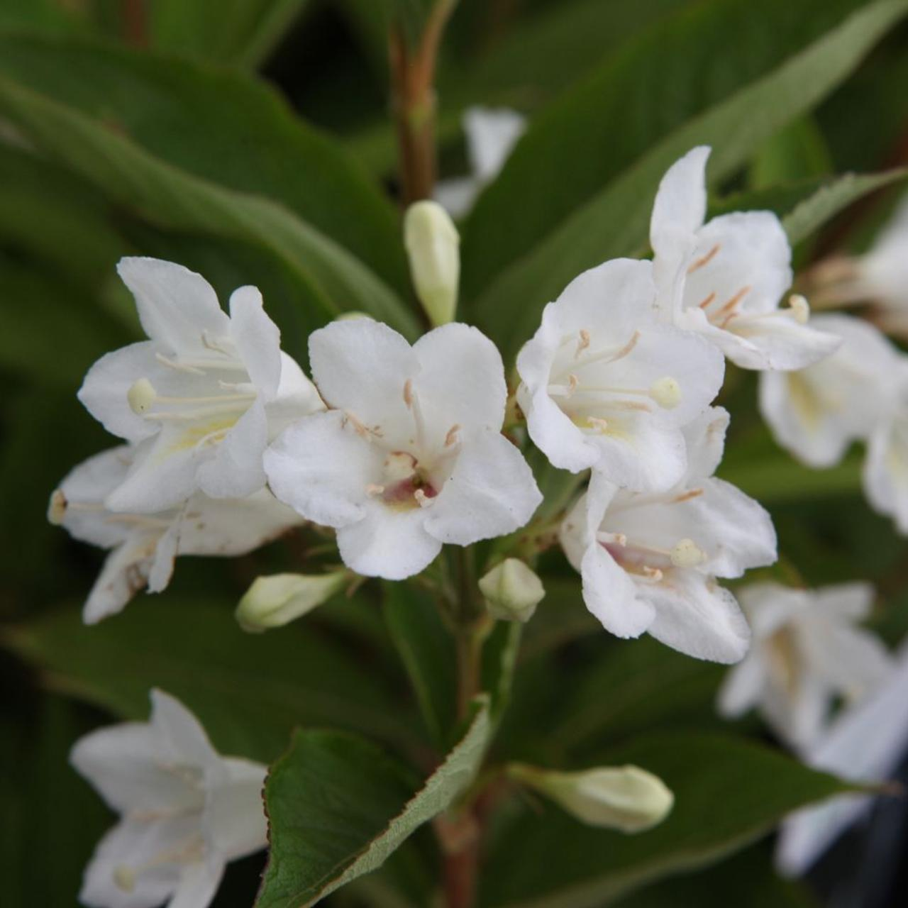 Weigela 'Candida' plant