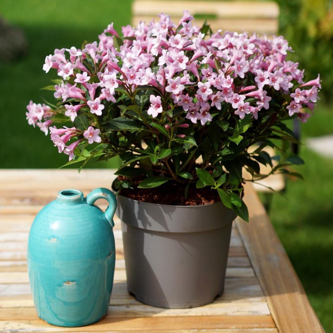 Weigela florida 'Pink Poppet' plant