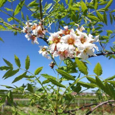 xanthoceras-sorbifolium