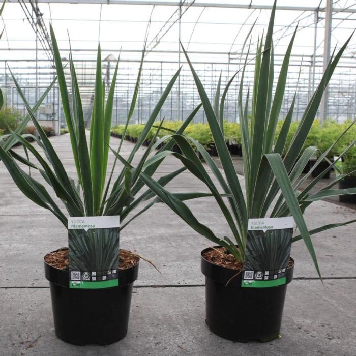 Yucca filamentosa plant